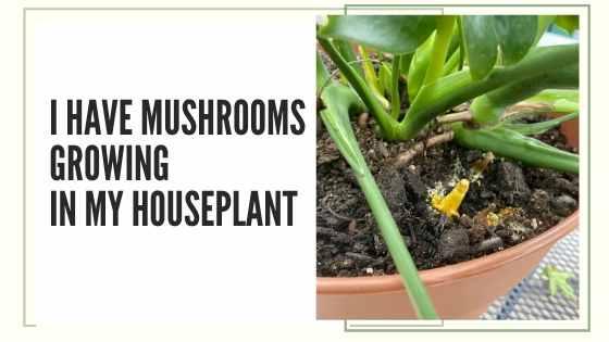 mushroom in my houseplant